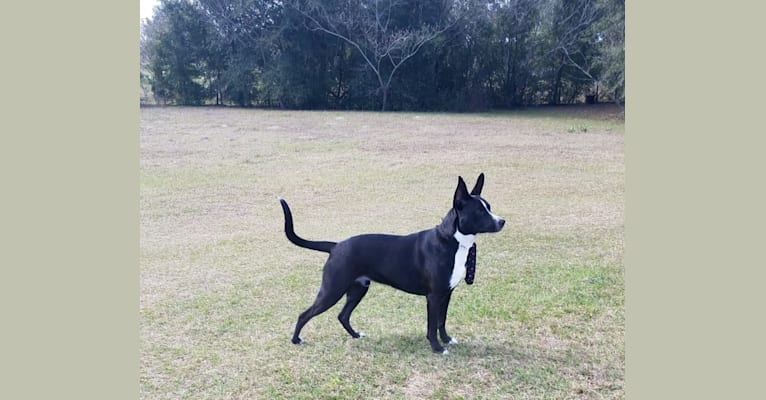 Photo of Kylo, a German Shepherd Dog, American Pit Bull Terrier, and American Staffordshire Terrier mix in Trenton, Florida, USA