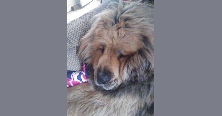 Photo of mufasa, a Tibetan Mastiff  in Bronx, NY, USA