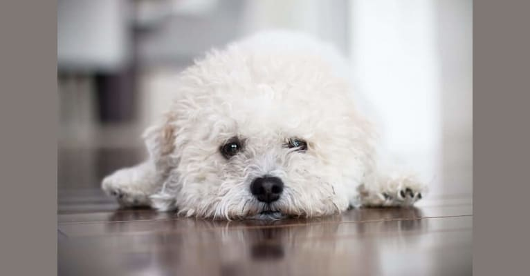 Photo of Bailey Snoodlepuff, a Zuchon