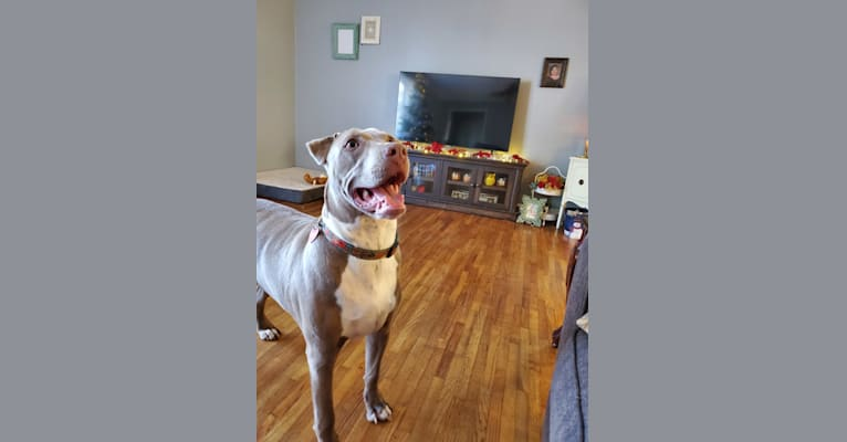 Photo of Louie, an American Pit Bull Terrier, American Staffordshire Terrier, and Mixed mix in Vaiden, Mississippi, USA