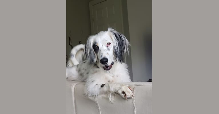 Photo of Lady, a Llewellin Setter  in Mt Airy, Maryland, USA