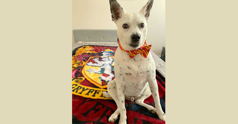 Photo of Albus, an Australian Cattle Dog, Russell-type Terrier, Chihuahua, Labrador Retriever, and Mixed mix