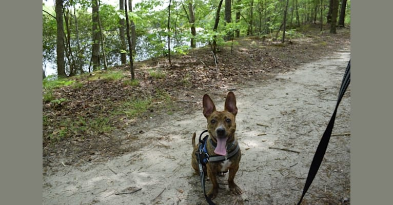 "Photo of Cupboard ""Cubby"", a Dachshund, American Bulldog, Chihuahua, Boxer, American Staffordshire Terrier, and Mixed mix in West Virginia, USA"