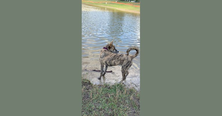 Photo of Charlie, a German Shepherd Dog, American Pit Bull Terrier, and Chow Chow mix in DeLand, Florida, USA