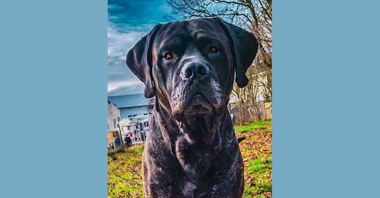 Photo of Trigger, a Mastiff and Neapolitan Mastiff mix in Orland, California, USA