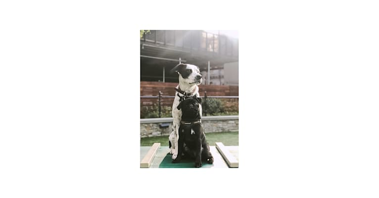 Photo of Bamboo, an American Pit Bull Terrier, Golden Retriever, and Mixed mix in New York, USA