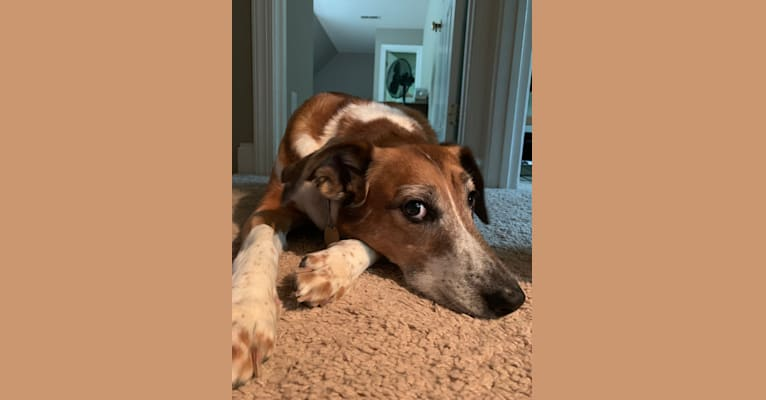 Photo of Sadie, a Beagle, Collie, American Pit Bull Terrier, German Shepherd Dog, Plott, and Mixed mix in Oak Ridge, North Carolina, USA