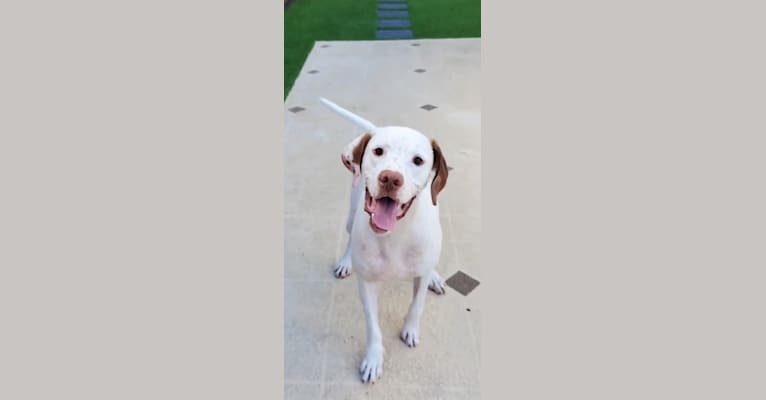 Photo of Huxley, a Pointer