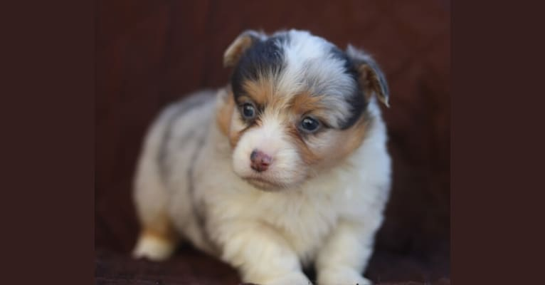 Photo of Frost, a Pembroke Welsh Corgi  in Englewood, Tennessee, USA