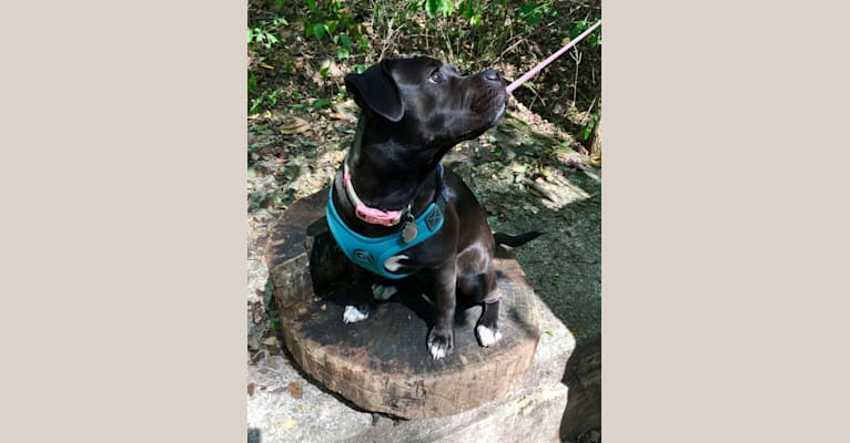 Photo of Poppy, an American Pit Bull Terrier, Pug, American Bulldog, American Foxhound, and Labrador Retriever mix in West Virginia, USA