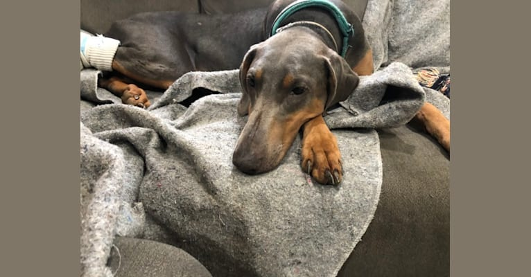 Photo of Lola, a Doberman Pinscher  in Keizer, Oregon, USA