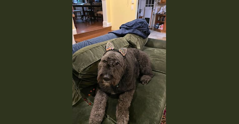 Photo of Sir Winston Churchill, a Bouvier des Flandres  in New Jersey, USA