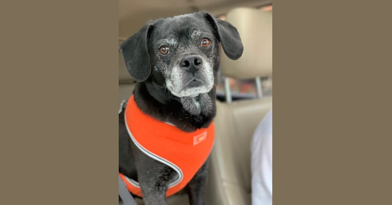 Photo of Apollo, a Puggle  in Bloomfield Twp, Michigan, USA