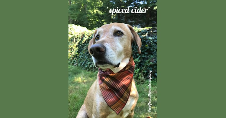 Photo of Arlo, a Mountain Cur, Beagle, Redbone Coonhound, and Labrador Retriever mix in Rhode Island, USA
