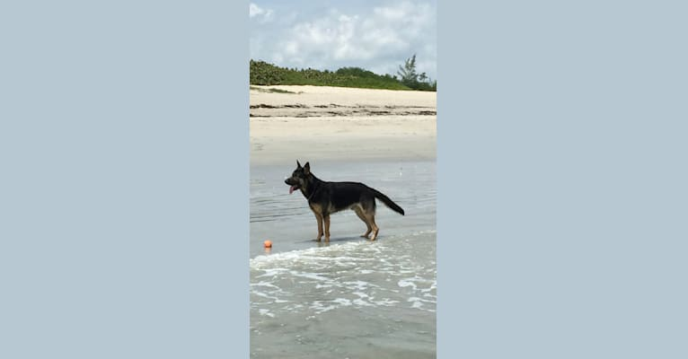 Photo of Reef, a German Shepherd Dog  in Florida, USA