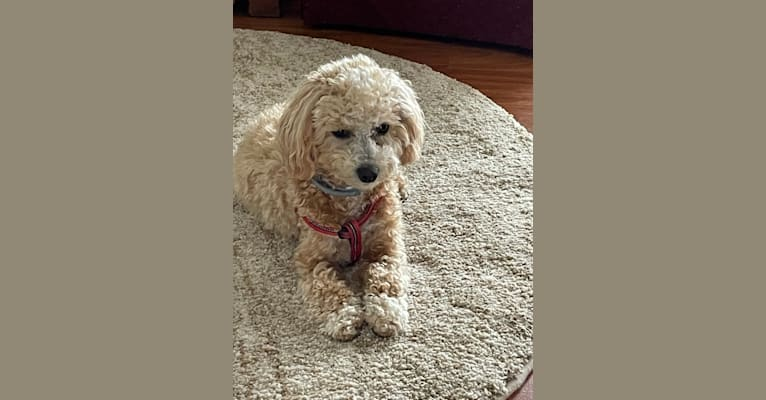 Photo of Scooter, a Poodle (Small), Maltese, and Shih Tzu mix in North Carolina, USA