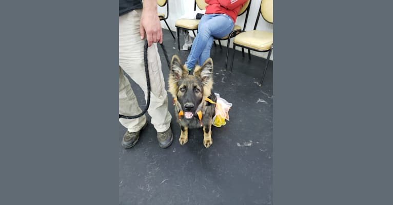 Photo of Bubbles Holtzapple von Wolfenguard, a German Shepherd Dog  in Fort Jennings, Ohio, USA