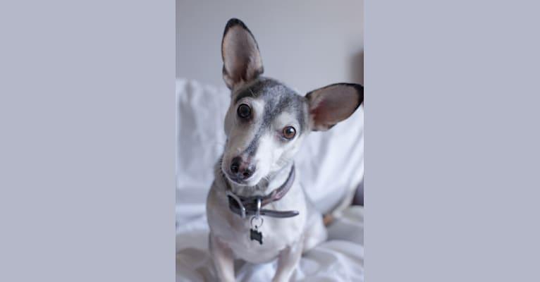 Photo of Kenji, a Chihuahua, Poodle (Small), Shih Tzu, and Mixed mix in Santa Monica, California, USA
