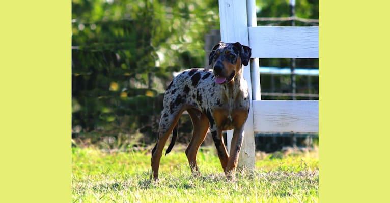 Photo of Roux, a Catahoula Leopard Dog  in Sandersville, GA, USA
