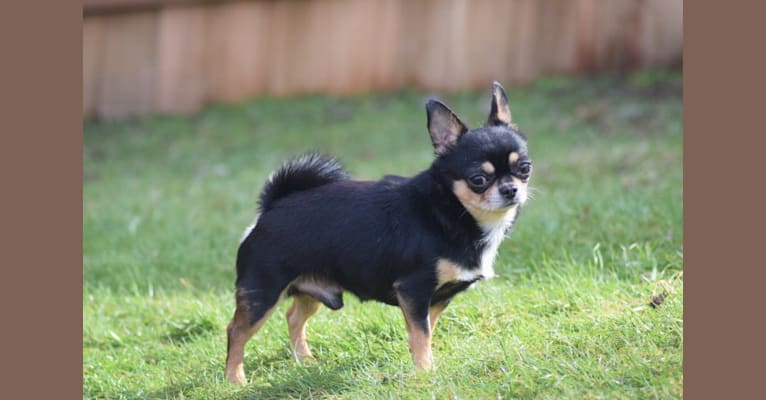 Photo of Fonzie, a Chihuahua  in Arkansas, USA
