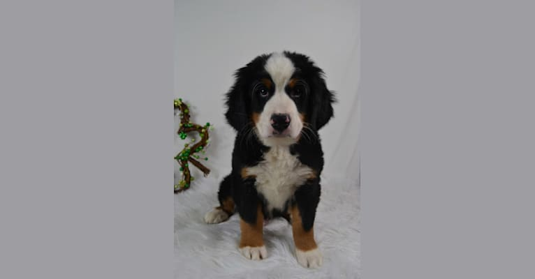 Photo of Diesel, a Bernese Mountain Dog