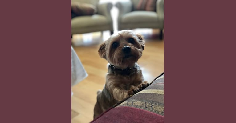 Photo of Guinness, a Yorkshire Terrier  in Los Angeles, California, USA