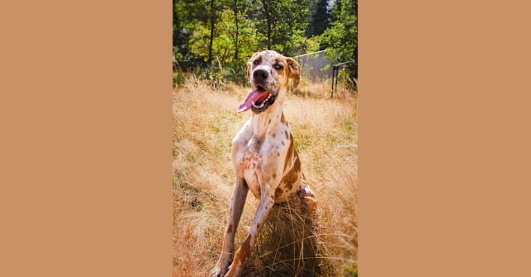 Photo of Forrest, a Great Dane  in Seattle, Washington, USA