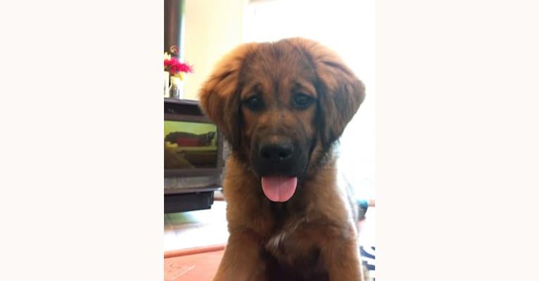 Photo of Cannoli, a Tibetan Mastiff  in Lancaster, Pennsylvania, USA