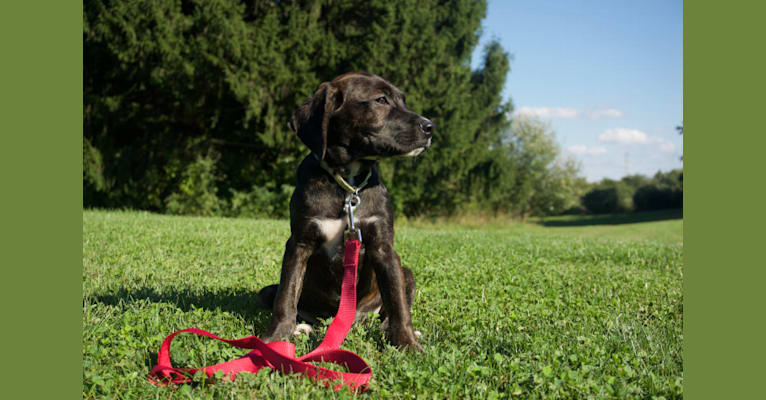 Photo of Quinn, a Golden Retriever, Boston Terrier, American Pit Bull Terrier, Boxer, and Beagle mix in Pittsburgh, Pennsylvania, USA