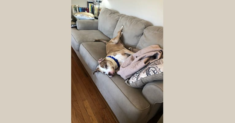 Photo of Louie, an American Pit Bull Terrier, American Staffordshire Terrier, and Cane Corso mix in Commack, New York, USA