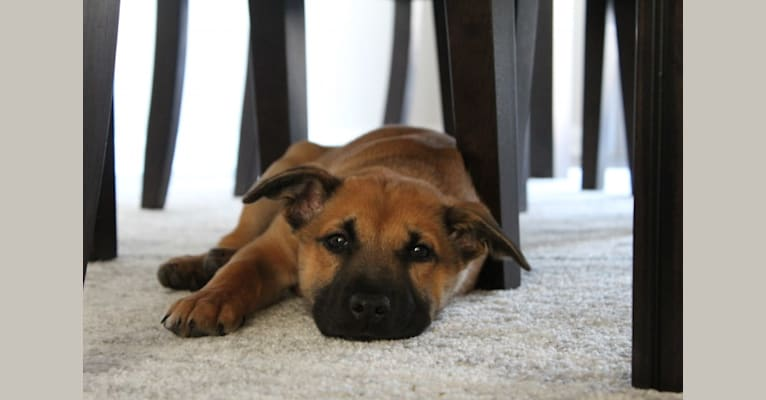 Photo of Brody, a Chow Chow, American Pit Bull Terrier, Labrador Retriever, Belgian Malinois, and American English Coonhound mix