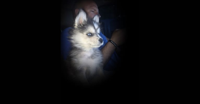 Photo of Nikayah, a Pomsky  in Clarkston, UT, USA