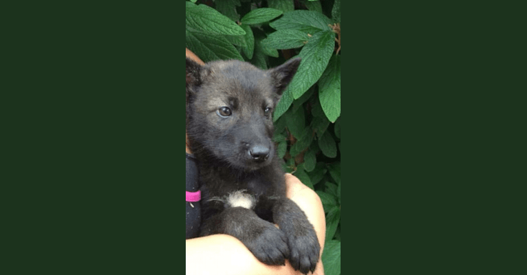 Photo of Timber, an Alaskan-type Husky, German Shepherd Dog, Siberian Husky, and Coyote mix