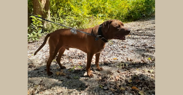 Photo of Charlie, an American Pit Bull Terrier and Labrador Retriever mix in Sherman, Texas, USA