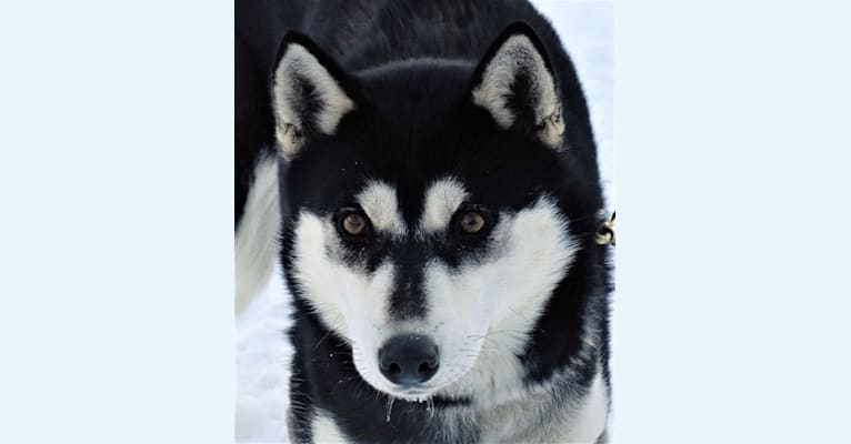 Photo of Preakness, a Siberian Husky  in Phelps, Wisconsin, USA