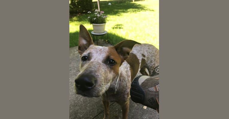 Photo of EmmyLou, an Australian Cattle Dog, American Pit Bull Terrier, Bulldog, Collie, and Mixed mix in Texas, USA