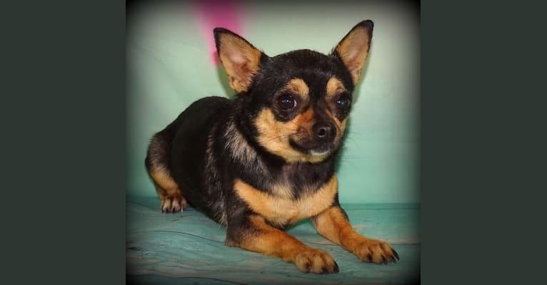 Photo of Java, a Chihuahua