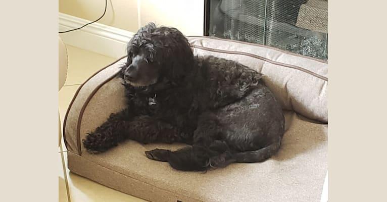 Photo of Machín, a Portuguese Water Dog  in Evora, Portugal