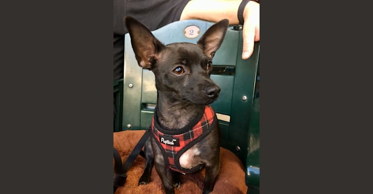 Photo of Roo, a Chihuahua, Poodle (Small), Miniature Pinscher, and Mixed mix in Mesa, Arizona, USA