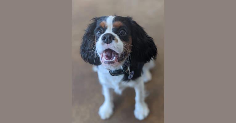 Photo of Dolly, a Cavalier King Charles Spaniel  in Arma, KS, USA