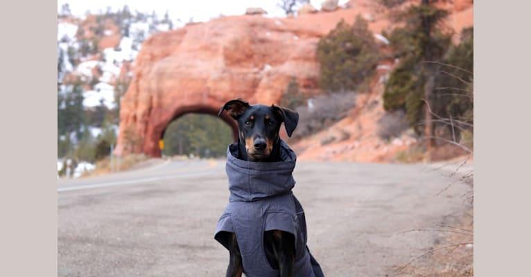 Photo of Dipper, a Doberman Pinscher, Siberian Husky, German Shepherd Dog, and Mixed mix in Sunset, Utah, USA