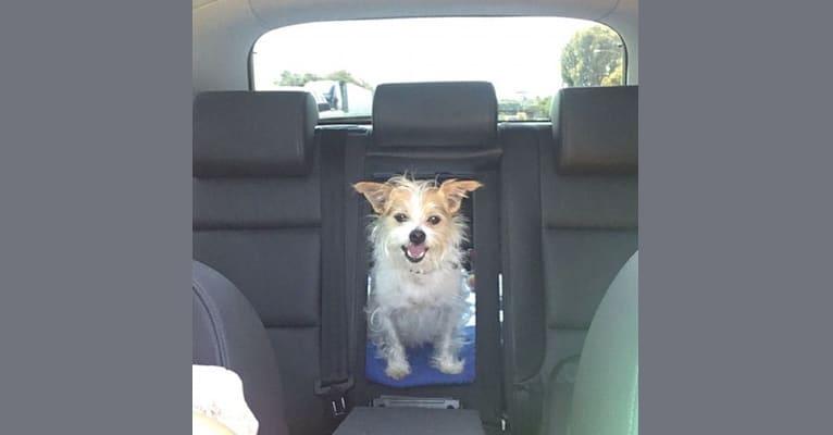 Photo of Wilson, a Chihuahua, Pomeranian, and Mixed mix in Modesto, California, USA