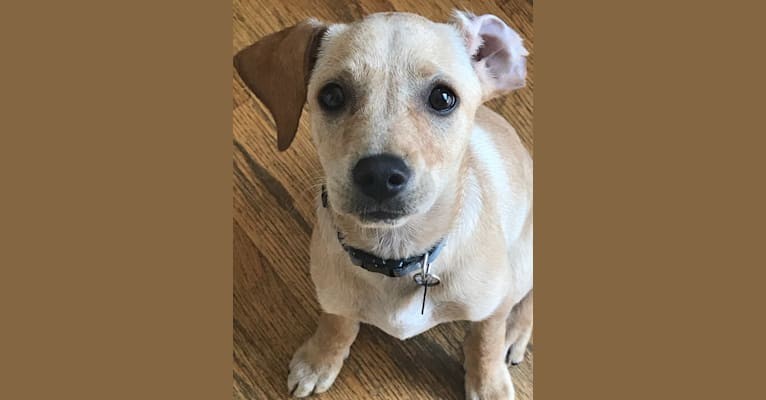Photo of Coby, a Golden Retriever, Poodle (Small), Chihuahua, Cocker Spaniel, and American Staffordshire Terrier mix in California, USA