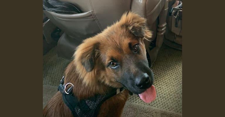 Photo of Chewbacca, an Australian Cattle Dog, Labrador Retriever, Australian Shepherd, and Mixed mix in Ponca City, Oklahoma, USA