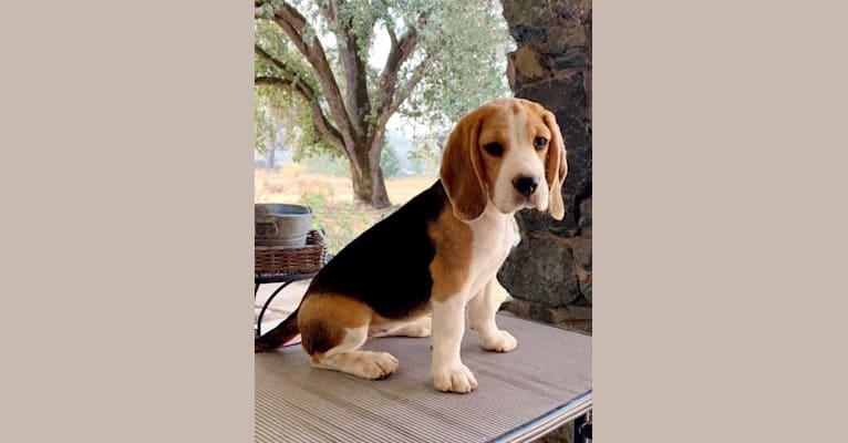 Photo of Charity, a Beagle