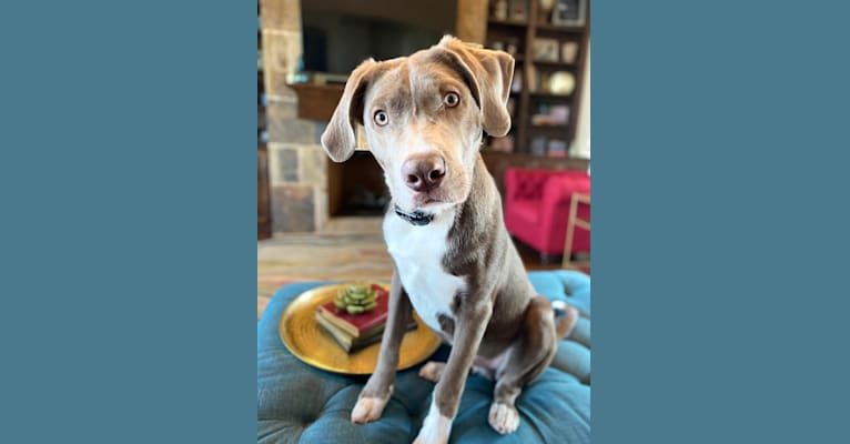 Photo of Slate, an American Pit Bull Terrier, Great Pyrenees, Australian Shepherd, and Black and Tan Coonhound mix in Fort Worth, TX, USA