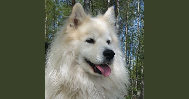 Photo of Teelikamentten Lumiukko, a Finnish Lapphund