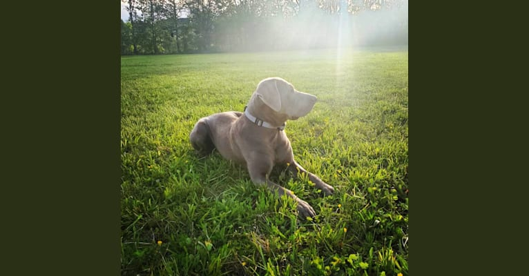 Photo of Oban, a Labrador Retriever  in Shenandoah, VA, USA