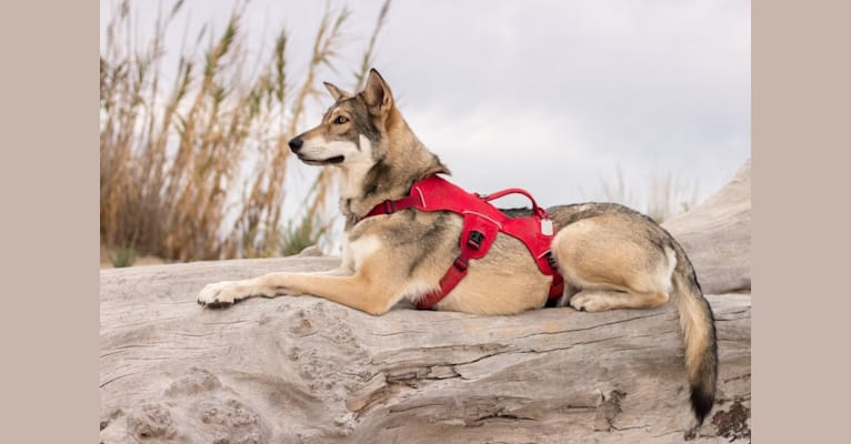 Photo of San, a Saarloos Wolfdog  in Sainte-Colombe-sur-l'Hers, Occitanie, France