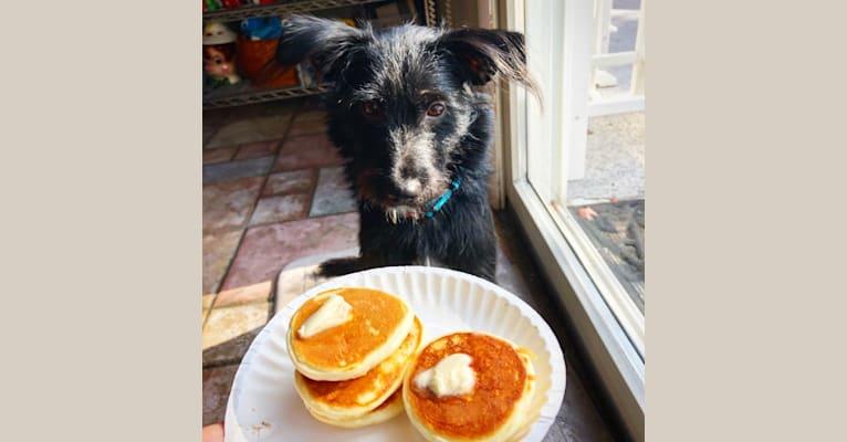 Photo of Chance, a Chihuahua, Miniature Schnauzer, Labrador Retriever, and Mixed mix in Edinburg, Texas, USA